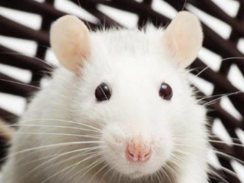 为什么会有十鼠九苦的说法 属鼠人命运如何?