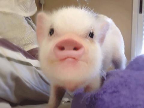 属猪的为什么这么有福气 晚年命运怎么样?