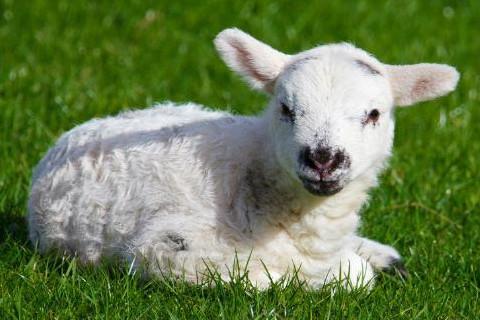 农历几月的羊没福气 几月出生的属羊人命运不好