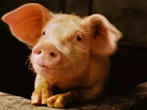 属猪的人命运最好是什么时候?怎么催运?