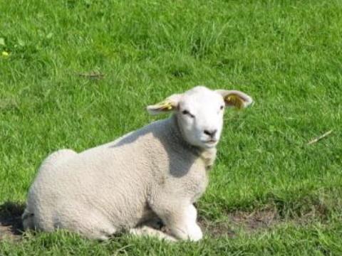 为什么属羊人运气这么差 怎么样转运?