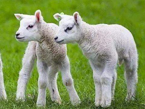 1991属羊一生大劫年怎么化解 什么时候大劫?