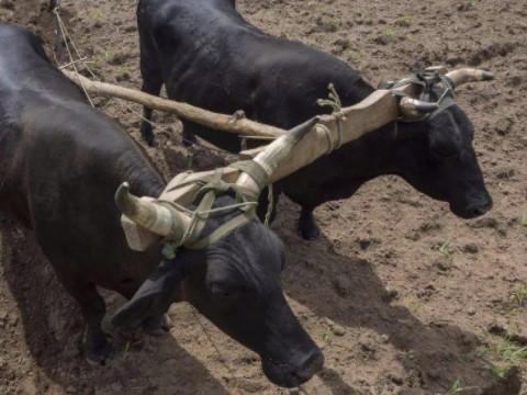 属牛的吉祥物是什么?能不能催运?