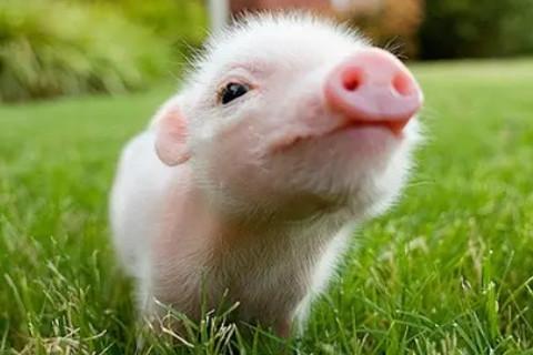 1983年属猪人40岁以后走大运 属猪人40岁后的命运如何