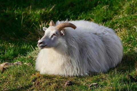 如何区分饱羊饿羊 什么时候出生的属羊人命好
