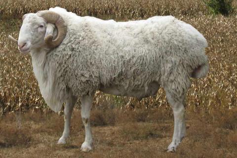 1979年的属羊人2022年命运好不好 虚岁44岁运势如何