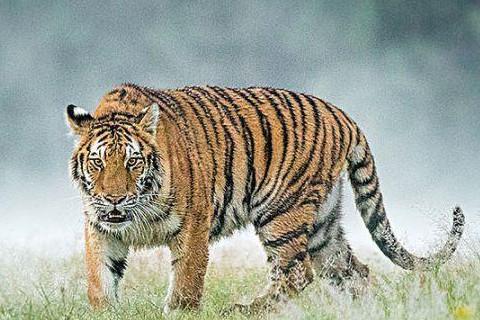 农历几月的虎有福气 几月出生的属虎人好运