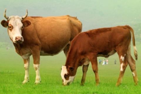 1985年属牛人2022年运势及运程 37岁属牛人虎年运势解析